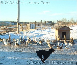 This is a dog being a herd dog.