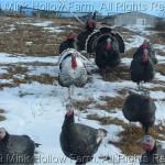 Turkeys in winter - long after Thanksgiving.