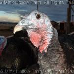 Curious Turkey