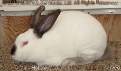 Un Official Illustrated Rex Standard Mink Hollow Rabbitry